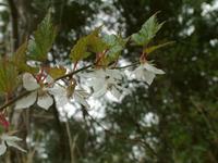 モミジイチゴ花.jpg