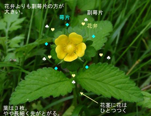 ヤブヘビイチゴ花葉1.jpg