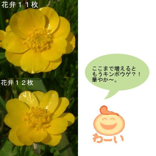 ウマノアシガタ11-12枚.jpg