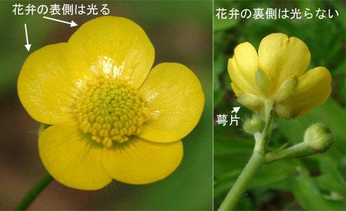 ウマノアシガタ花1.jpg