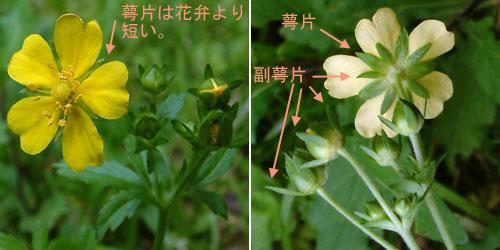 オヘビイチゴ花2.jpg