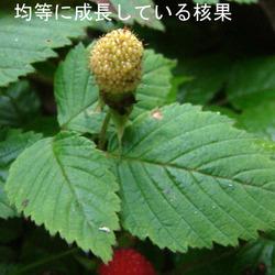 クサイチゴ果タ青1.jpg