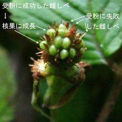 クサイチゴ果タ青2.jpg