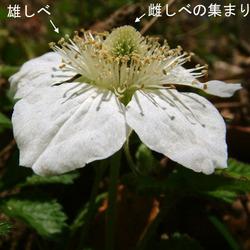 クサイチゴ花3.jpg