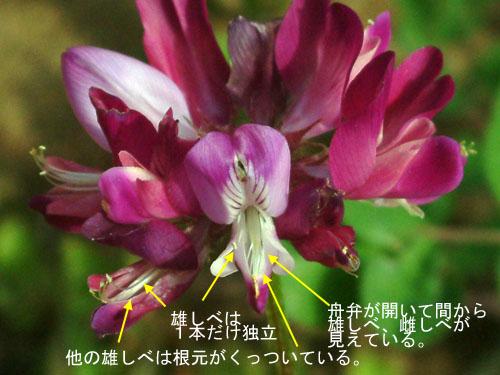 ゲンゲ花つくり3.jpg