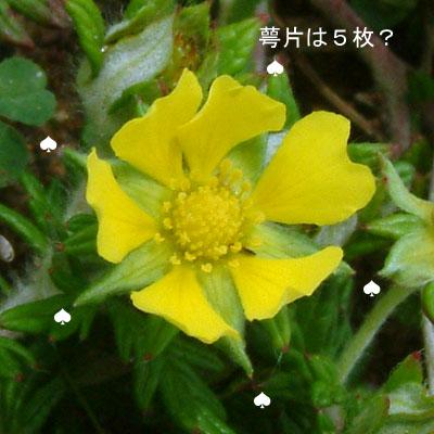 ヒロハノカワラサイコ6.jpg