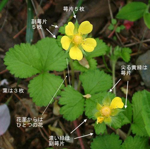 ヘビイチゴ葉花.jpg