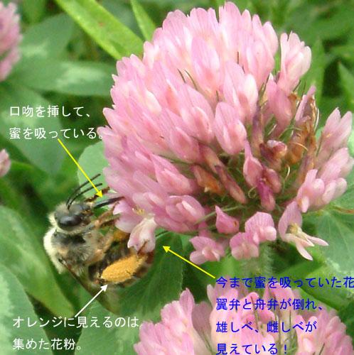 ムラサキツメクサ406-1.jpg