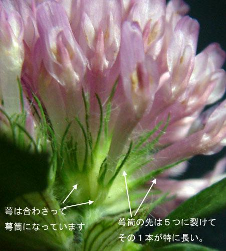 ムラサキツメクサ花4.jpg