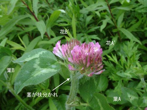 ムラサキツメクサ花双子4.jpg