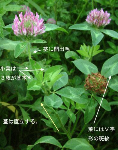 ムラサキツメクサ茎.jpg