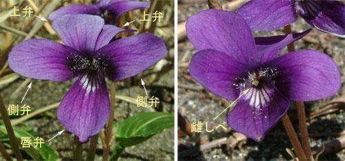 アツバスミレ花.jpg