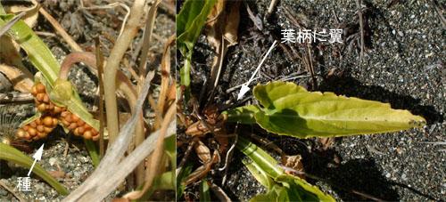 アツバスミレ冬種葉.jpg