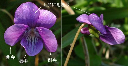 イヌボウスミレ花.jpg