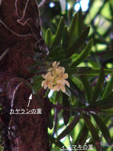 カヤラン花のコピー.jpg