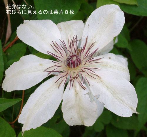 カザグルマ花.jpg