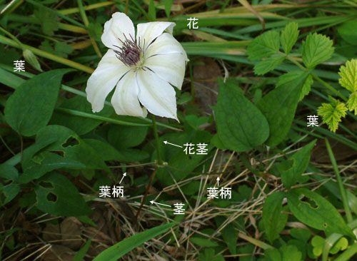 カザグルマ花茎.jpg