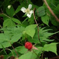 クサイチゴ花2.jpg