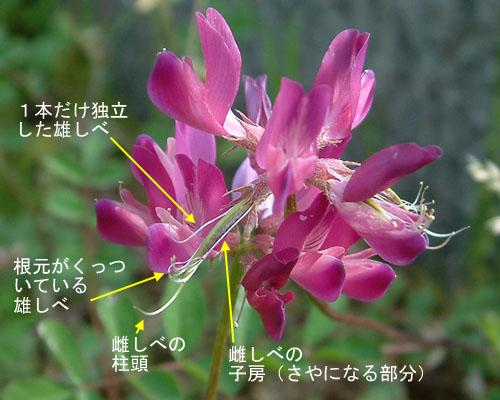 ゲンゲ花つくり4.jpg