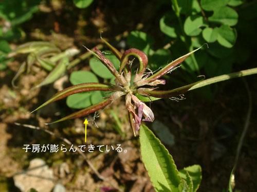 ゲンゲ花つくり5.jpg