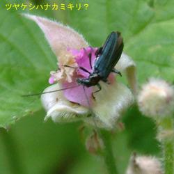 ナワシロイチゴ+カミキリ1.jpg