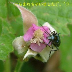 ナワシロイチゴ+カミキリ2.jpg