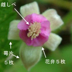 ナワシロイチゴ花仕組み1.jpg