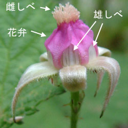 ナワシロイチゴ花仕組み2.jpg
