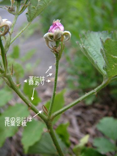 ナワシロイチゴ茎.jpg