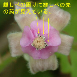 ナワシロイチゴ雄しべ2.jpg