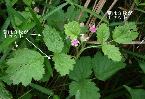ナワシロイチゴ葉.jpg