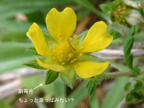 ヒロハノカワラサイコ3.jpg