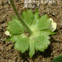ヘビイチゴ花裏分類.jpg