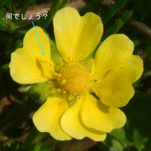 ヘビイチゴ花弁.jpg