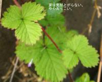 ヘビイチゴ葉分類.jpg